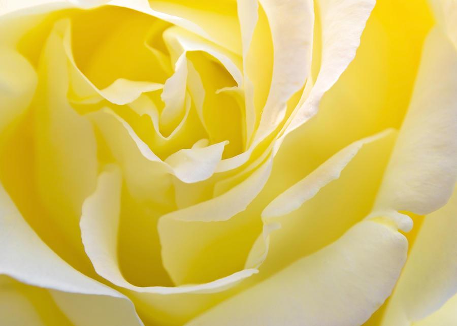 YELLOW ROSE FOR TEXAS – To the Pope – David Cameron and Benjamin Netanyahu Yellow-rose-svetlana-sewell