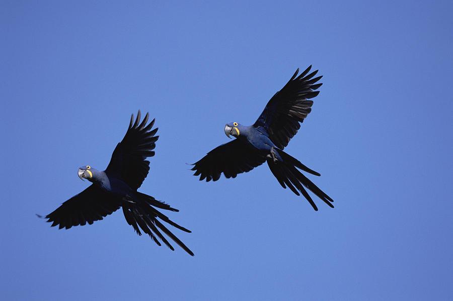 Šerohvozd (Duskwood) - Stránka 3 1-hyacinth-macaw-anodorhynchus-konrad-wothe