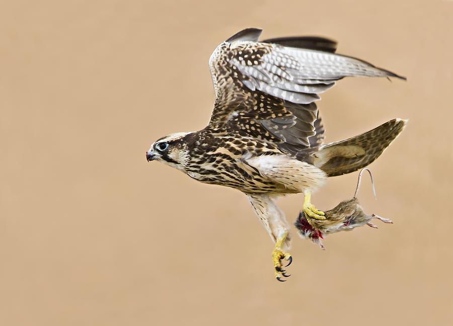 Falconiformes. sub Falconidae - sub fam Falconinae - gênero Falco 1-lanner-falcon-basie-van-zyl