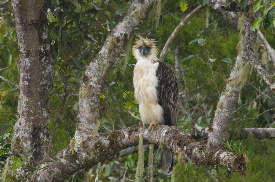 Falconiformes. Família  Acciptridae - Subfamília Buteonidade-Águias coroadas - gênero Pitecophaga jefferyi . Águia das Filipinas. A-philippine-eagle-perches-on-a-tree-klaus-nigge