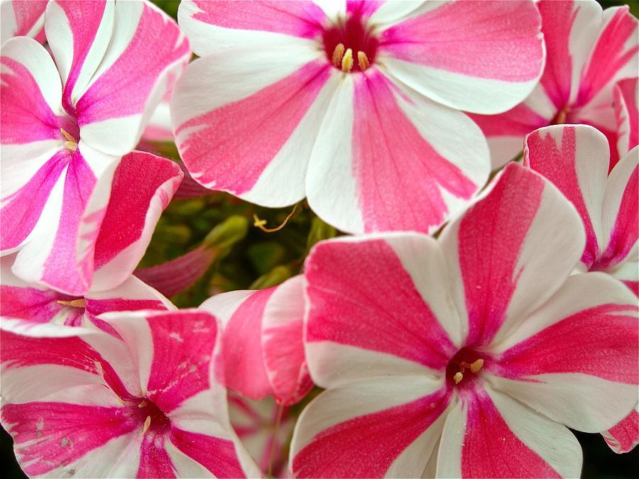 Fleur de Martine 6/12/2015 trouvée par Pitchoune - Page 2 Candy-cane-phlox-randy-rosenberger