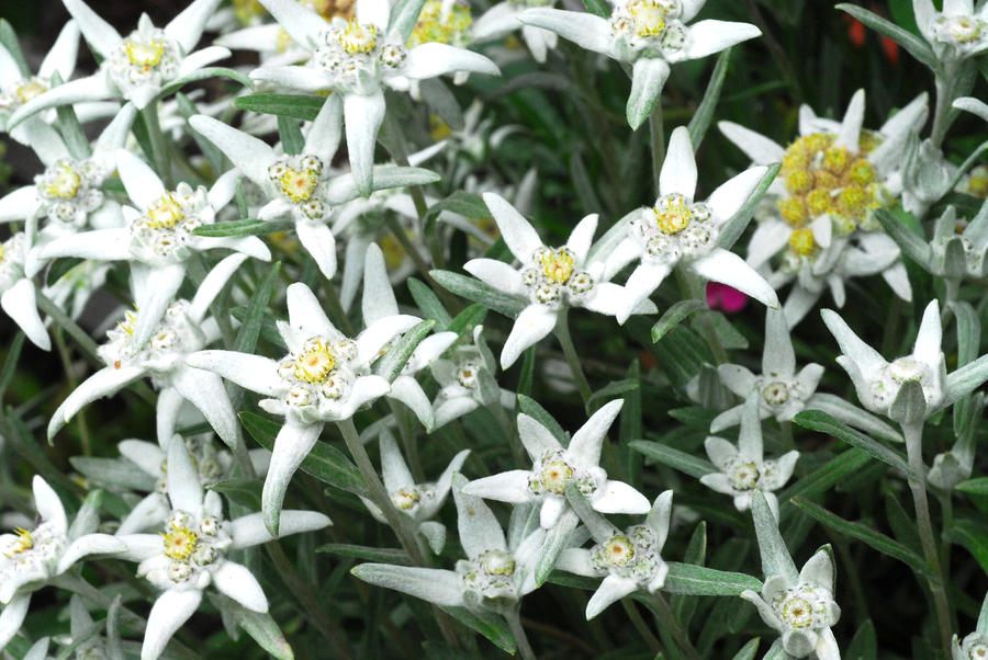 Sound of Music sing-along party, anyone? Close-up-of-a-edelweiss-flowers-anne-keiser