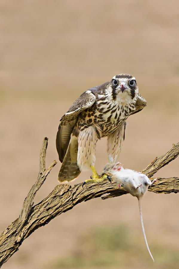 Falconiformes. sub Falconidae - sub fam Falconinae - gênero Falco Lanner-falcon-basie-van-zyl