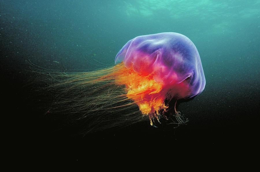 La medusa más grande del mundo Lions-mane-cyanea-capillata-jellyfish-scott-leslie