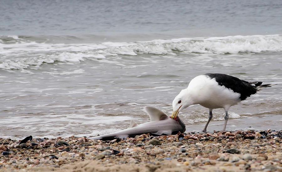 Ribolov na fotkama - Page 6 Seagulls-catch-of-the-day-karol-livote