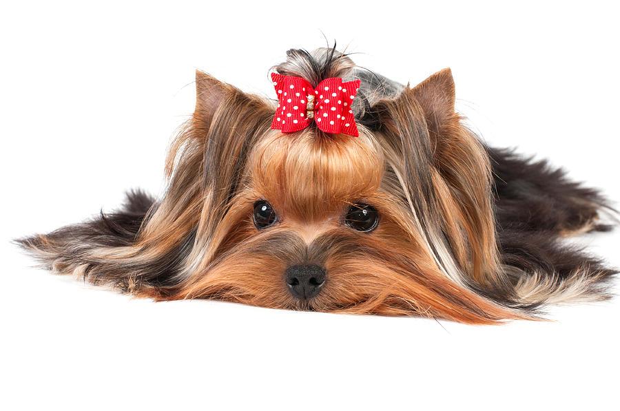 Yorkshire terrier Yorkshire-terrier-konstantin-gushcha