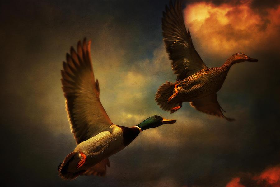 Bienvenidos al nuevo foro de apoyo a Noe #297 / 20.11.15 ~ 24.11.15 - Página 5 Flying-ducks-audran-gosling