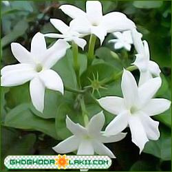 الفل الافرنجي  الاسم العلمي Vinca Rosea Ghdghoda_Jasmine