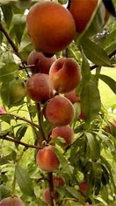 un fruitier pas de chez nous par blucat (10 juillet) trouvé par ajonc 79063-peches-variete-reliance-seul-cultivar