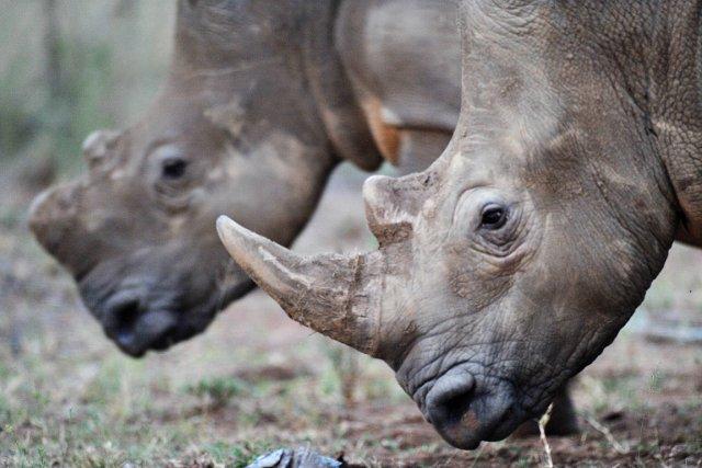 Les braconniers menacent la survie des rhinocéros 653679-2012-745-rhinoceros-ete-tues