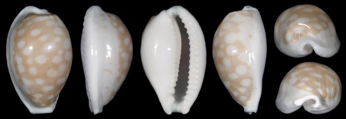 Cribrarula angelae - Moretzsohn & Beals, 2009 40381_holotype-of-cribrarula-angelae
