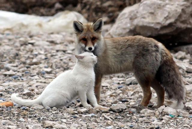 ПРИЈАТЕЛИ - Page 2 Fox_and_cat