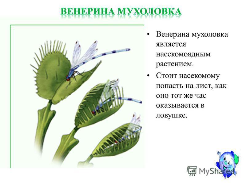 Мухоловка или venus flytrap в бутылке Slide_64