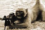 A vergonha - Cruzamentos - Fotos, problemas de linha, problemas de saúde do animal cruzado 20100709_monkeyterrorist_146x97