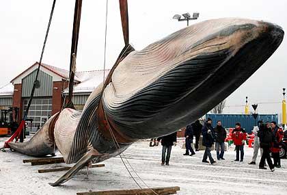 اصطياد أكبر حوت في العالم, مرعب قليلا 02022006-155217-2