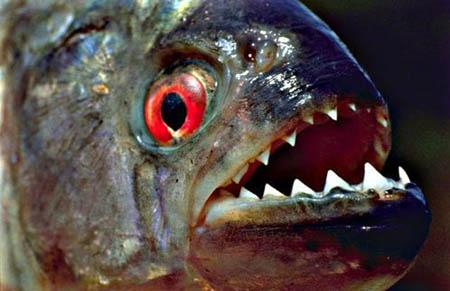 سمكة اكلى لحوم البشر 20082006-132512-1