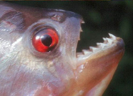 سمكة اكلى لحوم البشر 20082006-132512-2