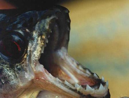 سمكة اكلى لحوم البشر 20082006-132512-3
