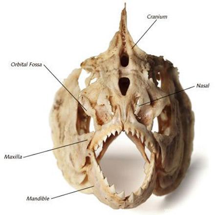 سمكة اكلى لحوم البشر 20082006-132512-4