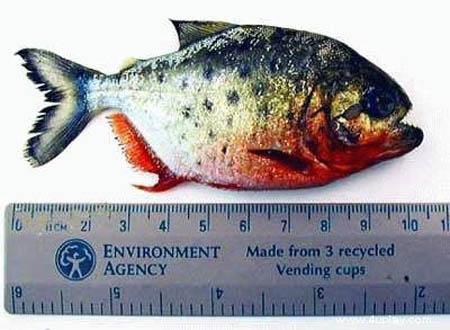 سمكة اكلى لحوم البشر 20082006-132526-0