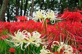 VƯỜN CÂY HOA ĐV I - Page 14 Red-white-spider-lily