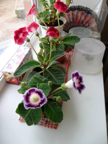 Наши любимые домашние растения! - Страница 2 484529_m