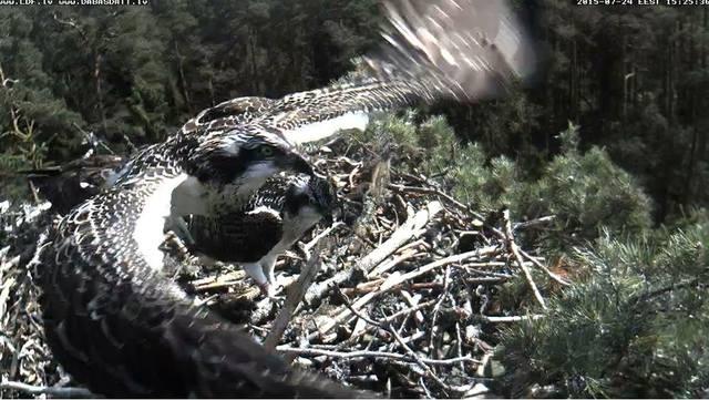 Latvian Osprey Nest ~2015~ Laima & Pēteris - Page 2 9376923_m