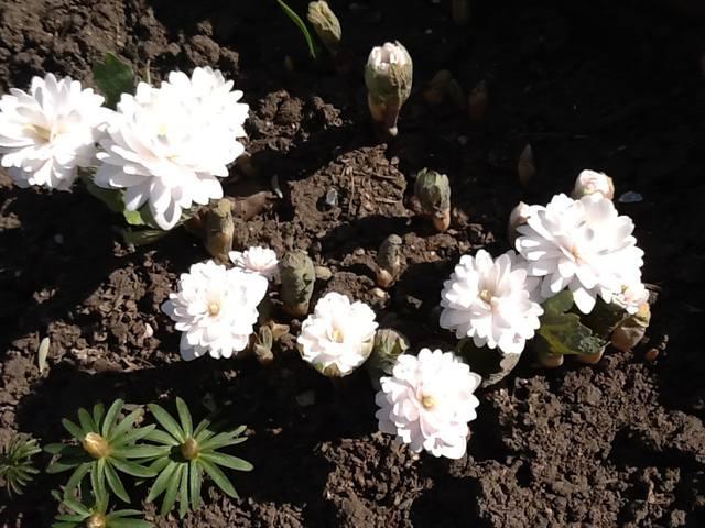 Весна идет весне дорогу - Страница 15 12745348_m