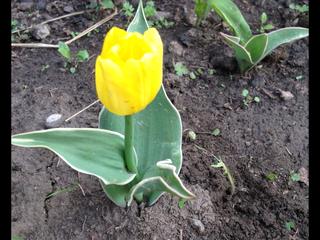 Тюльпаны - Страница 7 12887588_m