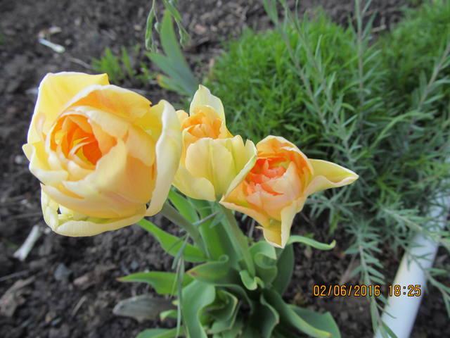 Тюльпаны - Страница 8 12923259_m