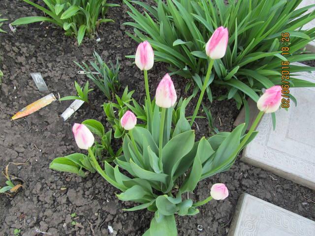 Тюльпаны - Страница 8 12923297_m