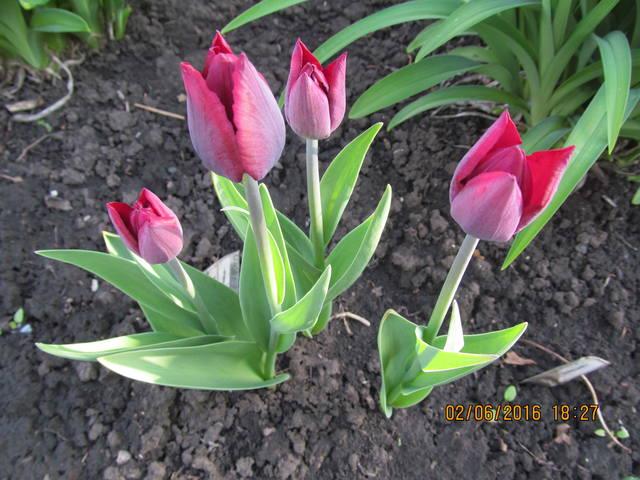 Тюльпаны - Страница 8 12923300_m