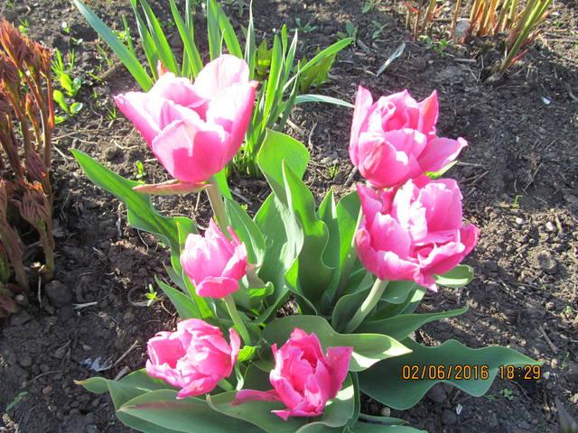 Тюльпаны - Страница 8 12923308_m
