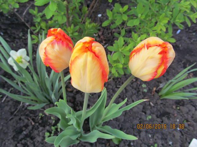 Тюльпаны - Страница 8 12923330_m