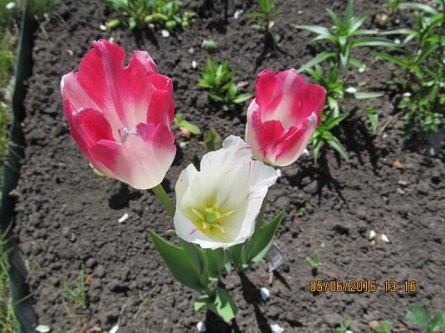 Тюльпаны - Страница 8 12923363_m
