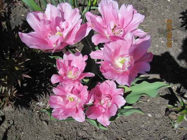 Тюльпаны - Страница 8 12923375_m