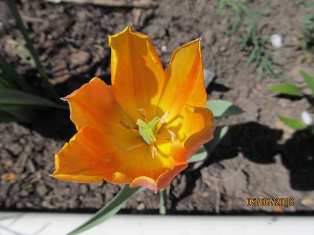 Тюльпаны - Страница 8 12923380_m