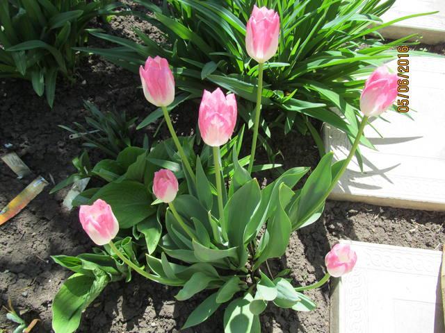 Тюльпаны - Страница 8 12923383_m
