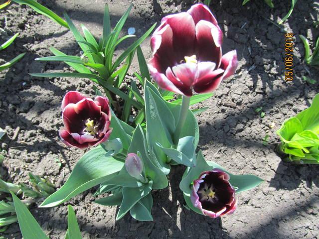 Тюльпаны - Страница 8 12923391_m