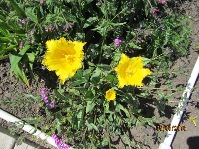 Тюльпаны - Страница 8 12923411_m
