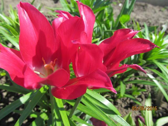 Тюльпаны - Страница 8 12923426_m