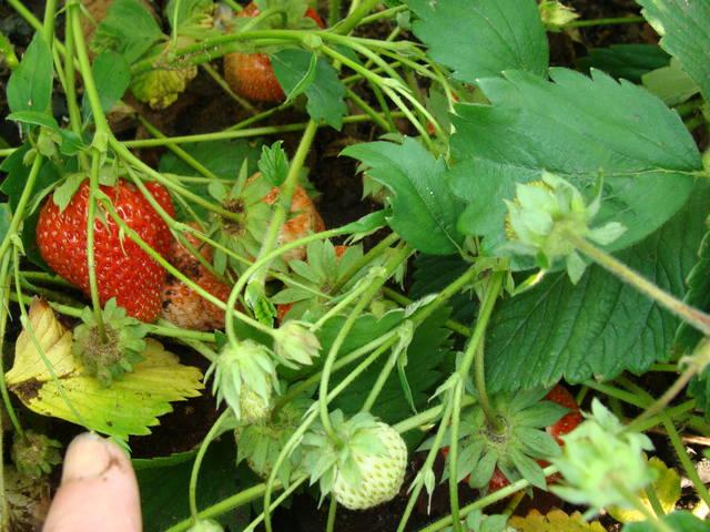 смородина и другая ягодка - Страница 15 13157168_m