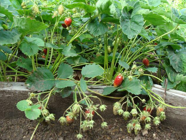 смородина и другая ягодка - Страница 15 13157173_m