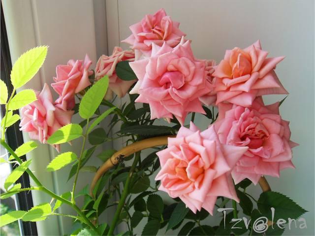 Разводите ли дома цветы и какие? - Страница 36 13229179_m