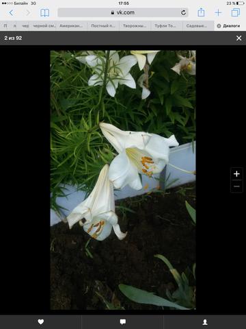 Садовые многолетние цветы - давайте меняться - Страница 6 13434413_m