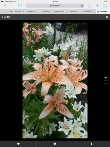 Садовые многолетние цветы - давайте меняться - Страница 6 13434422_m