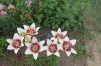 Лилии от Валентины - Страница 2 13450141_s