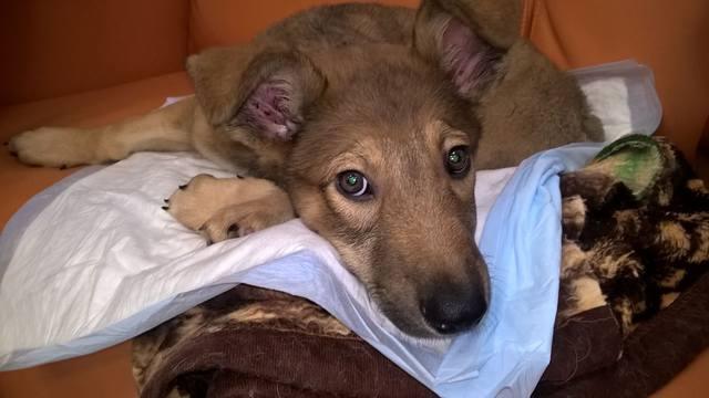 Малыш совсем щенок, сбила машина. Срочно нужна операция!!! 14937643_m