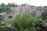 Продам растения - Страница 30 17204986_s