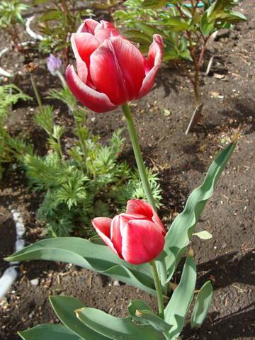 Тюльпаны - Страница 8 17263409_m
